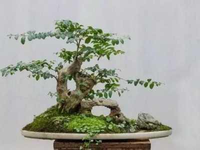大型盆景花盆 榆树是农村常见的高大的树
